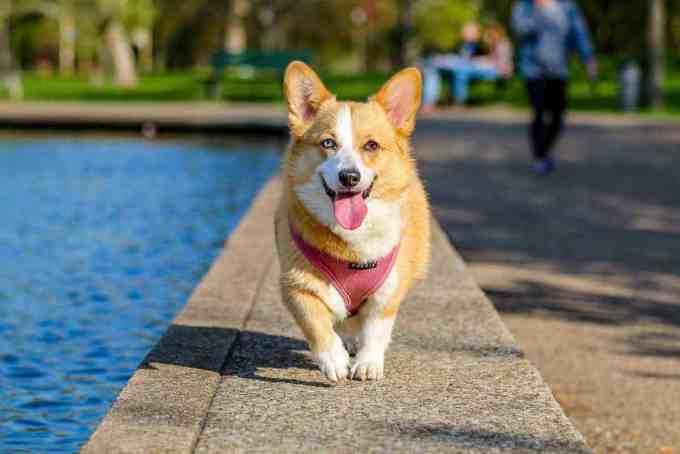 good dog breeds for seniors - welsh corgi