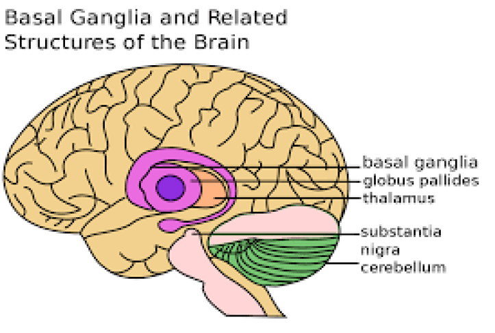 Your brain on habit - the basal ganglia.