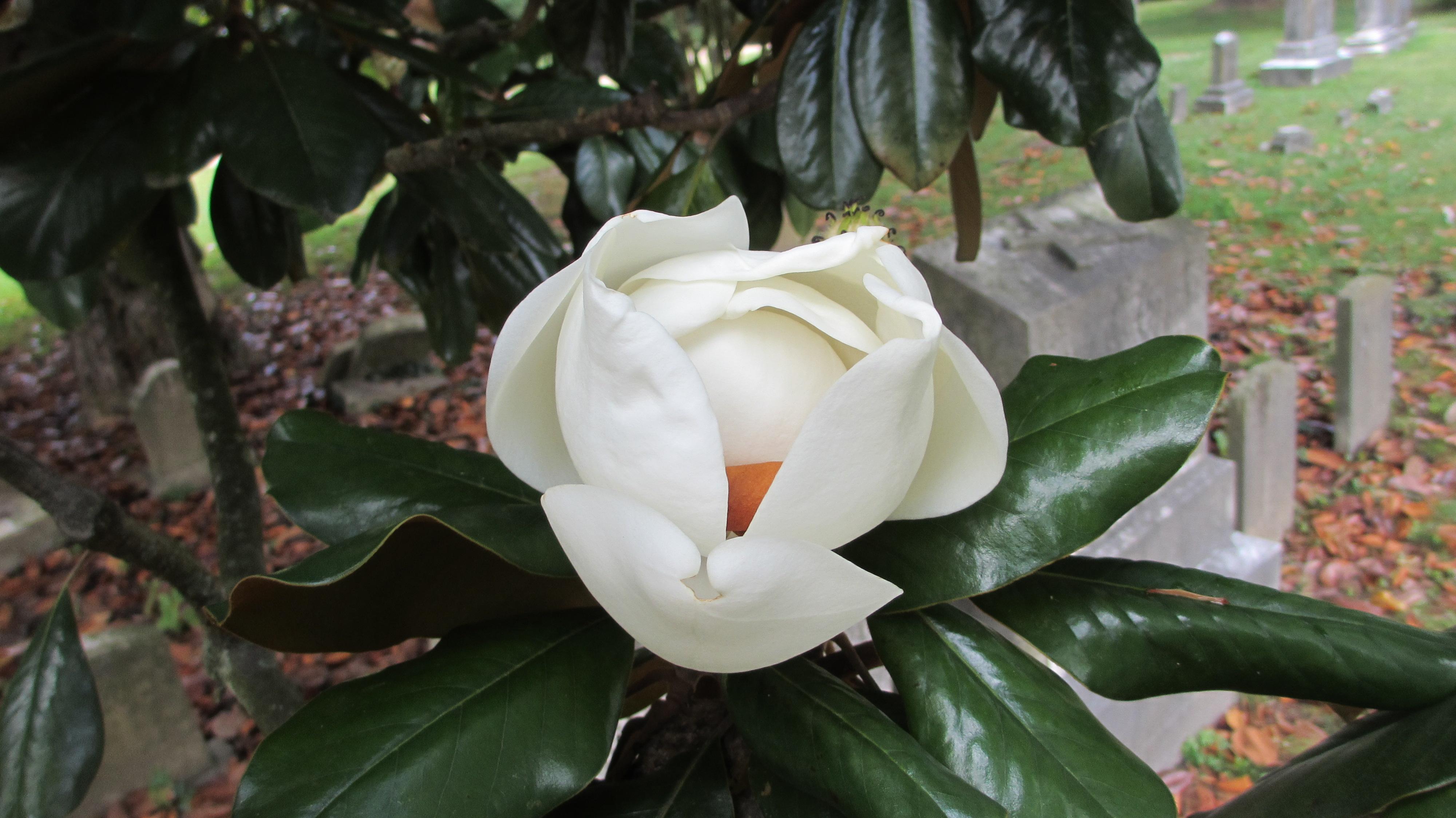 Gorgeous Magnolia Bloom