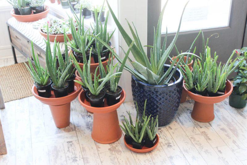 Various sizes of Aloe Vera