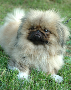 Today's Pekingese, now even more exaggerated than it was under Empress Cixi.