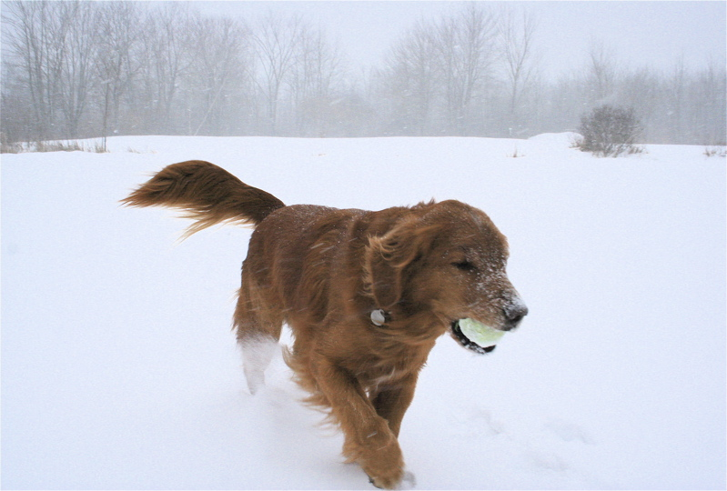 red-golden-with-tennis-ball