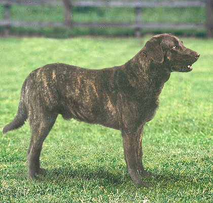 This breed of Portuguese livestock and farm guardian is a probable ancestor of the St. John's water dog and the retrievers.