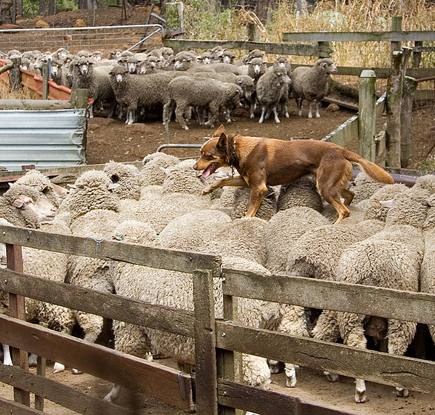 The kelpie is the Australian sheep-herding dog. It is definitely descended from collie stock, but it may also have dingo in its ancestry.