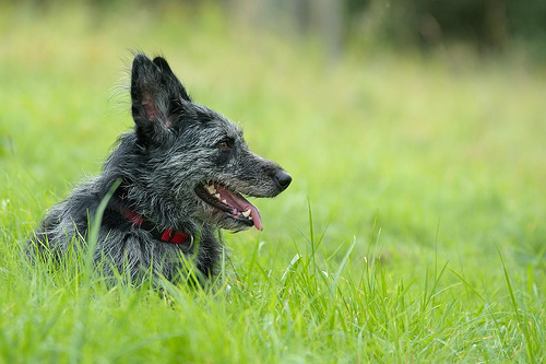 The Altdeutsche Huetehunde is a working German sheepdog. It is a known ancestor of the GSD, but it is also a probably ancestor the koolie and the Australian shepherd.