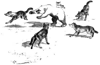 Murie's sketch of wolves fighting a grizzly bear.
