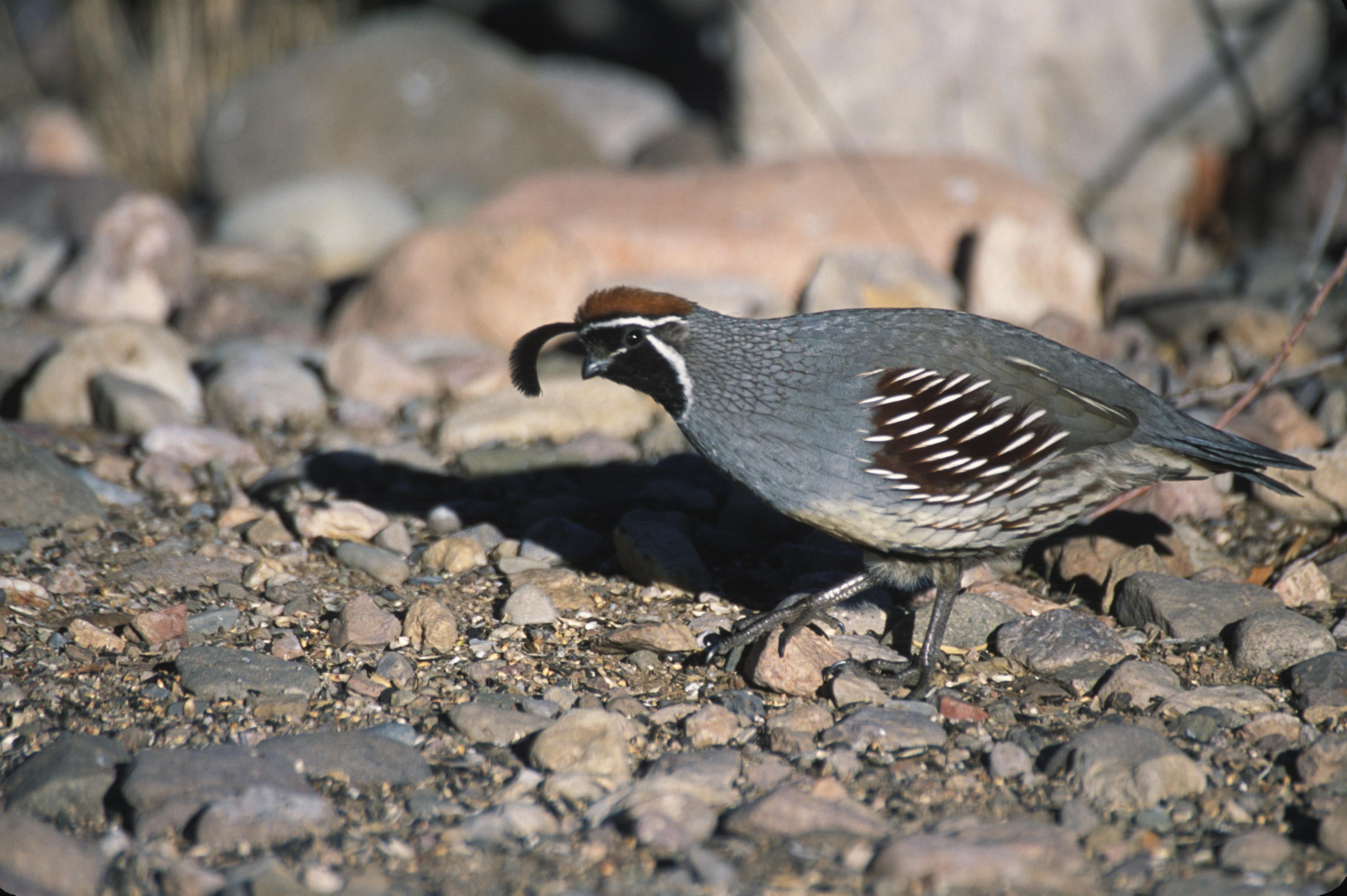 Gambel's quail.