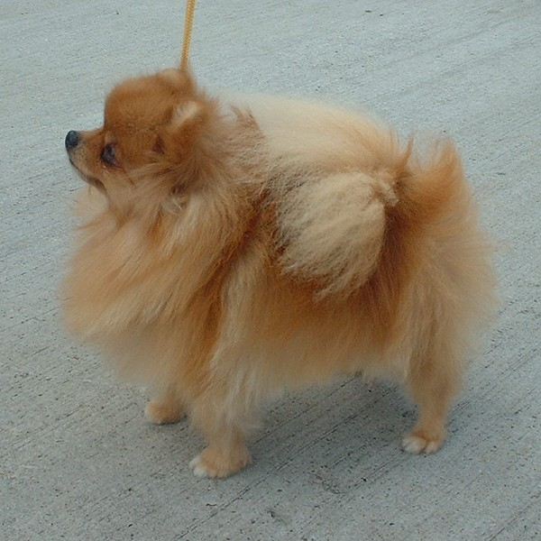 "The ""Toy Munchkin"" was basically a small Pomeranian with a shaved butt."