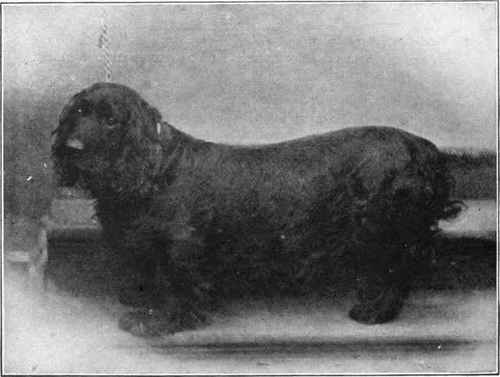 Ch. Bridford Brilliant, a black field spaniel owned by Moses Woolland.