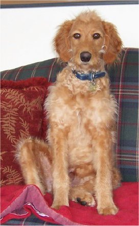 Goldendoodle With Some Irish Water Spaniel Features