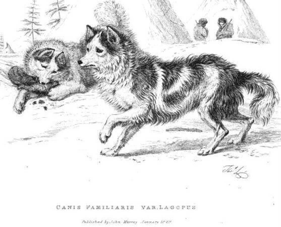 Was The Hare Indian Dog A Domesticated Coyote