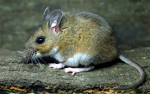 The tale of two mice   Natural History