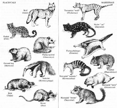 Convergent evolution in placentals and marsupials