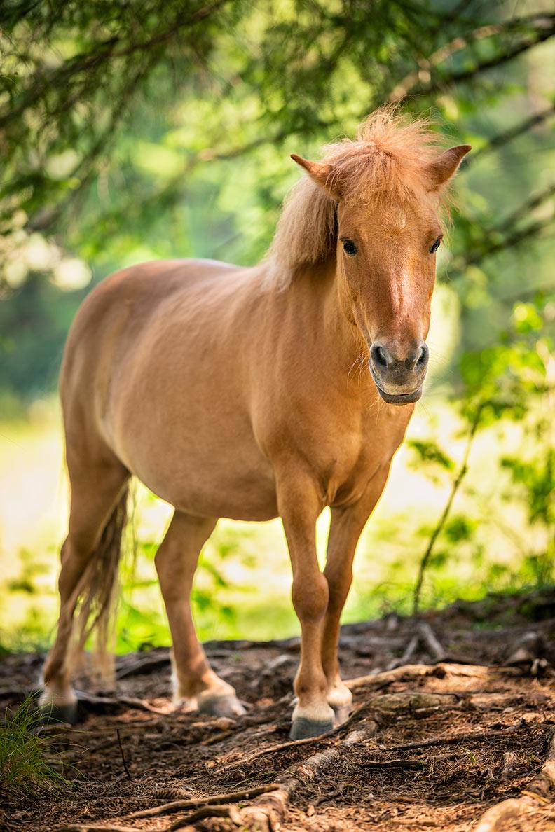 Ein braunes Pony auf einer Lichtung im Wald in Bayern