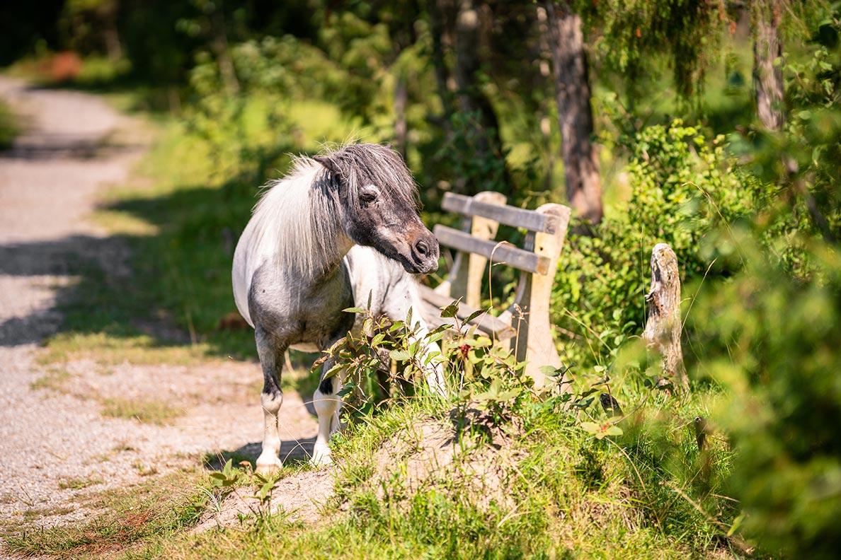 Ein Pony bei einer Bank im Wald im Allgäu