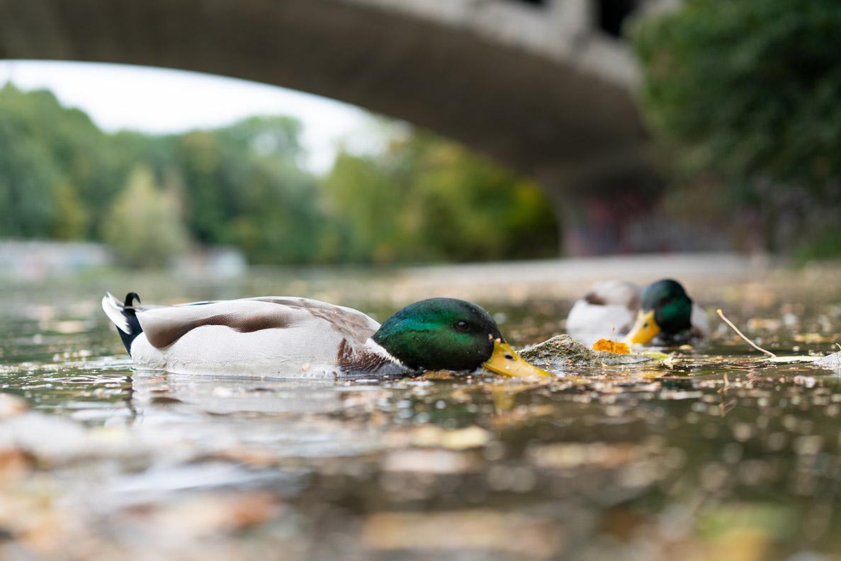 Enten auf der Isar in München