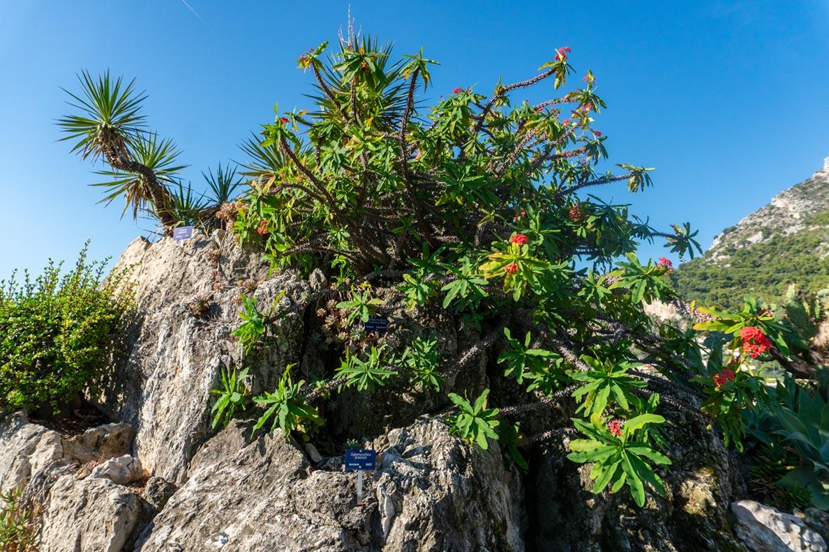 Ein Kaktus im Jardin Exotique in Monaco