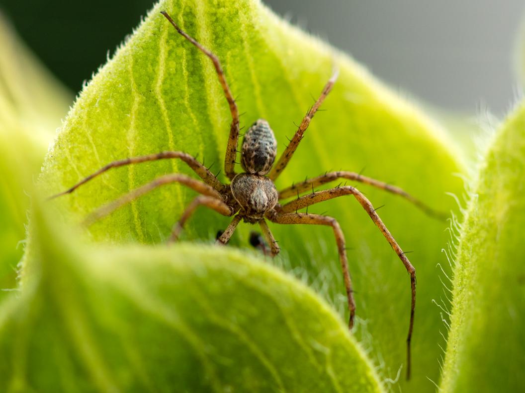 Makro-Aufnahme von einer Spinne auf einem Blatt