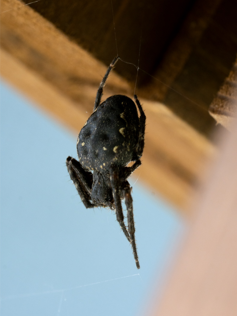 Nahaufnahme von einer Spinne im Spinnennetz