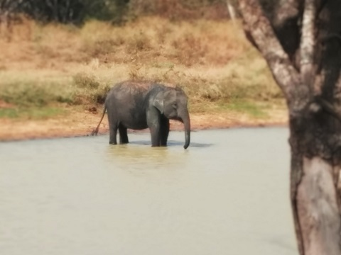 Yala - Baby Elephant Bathing