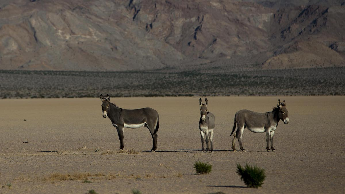 SILURIAN VALLEY, CA – OCTOBER 9, 2014: Wild burros hang out near a dry lake bed in front of the Silu