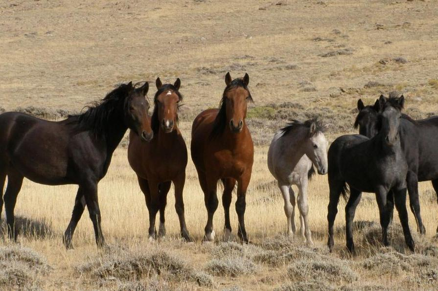 New-rules-for-managing-wild-horses-burros-on-horizon