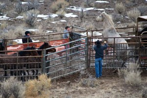 Calico Roundup Remembered Today