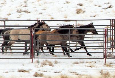 horses-trap