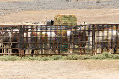 Wild Mares Trapped in Roundup