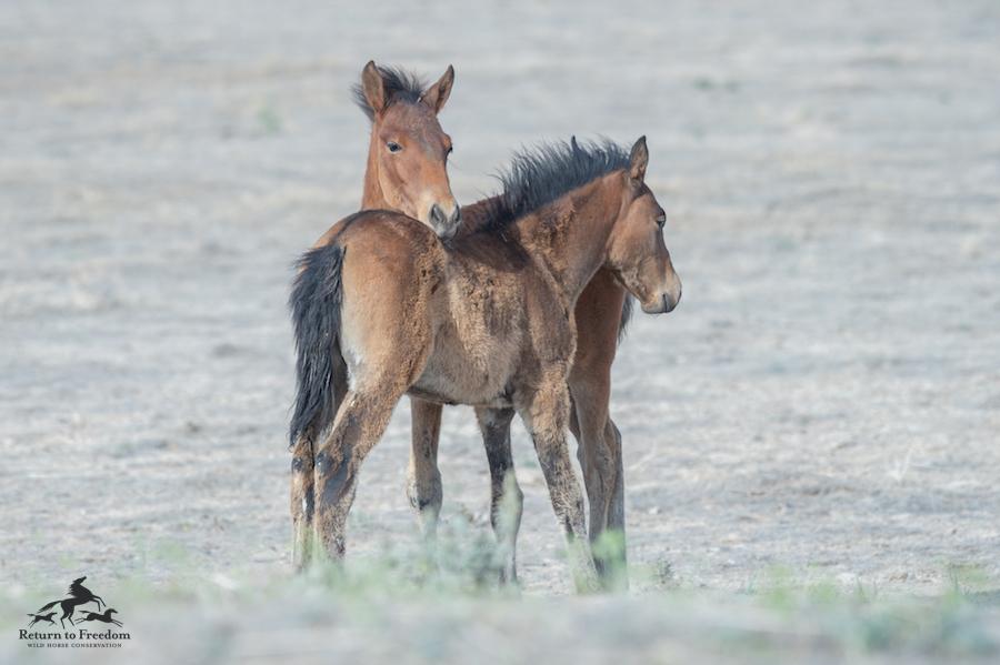 onaqui two foals meg f