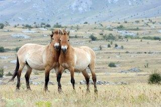 Przewalski's Horse (Mongolia)