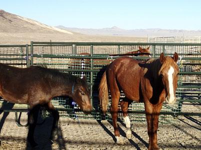 Reveille Wild Horse Roundup