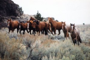 Hart Mountain Herd