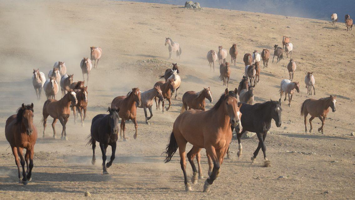 running horses- P.IANES