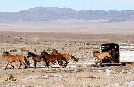 Sulphur Springs Wild Stallion Release