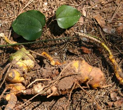 Smilax Tuber by Walter Reeves