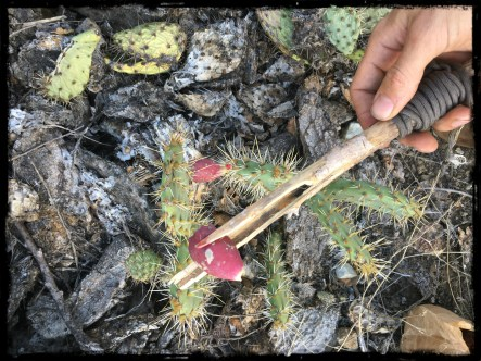 Prickly Pear Fruit Harvesting Border