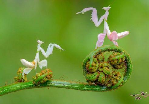 , Fotógrafo captura extraordinarias y extrañas fotografías de mantis religiosas