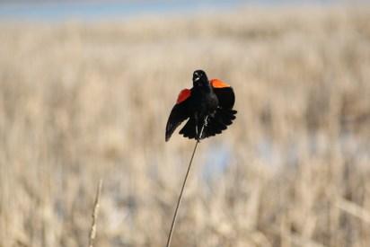Redwing singing