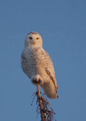 a snowy owl perched on a tree top