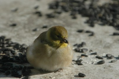goldfinch all fluffed out trying to stay warm