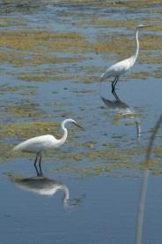 egret pair