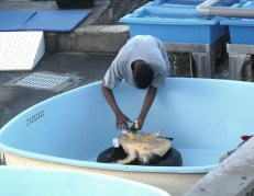 Soins donnés aux tortues blessées à l'observatoire des tortues marines Kélonia