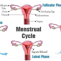 Menstrual Cycle Diagram With Ovulation 4 Pin Aux Stecker Phases Days