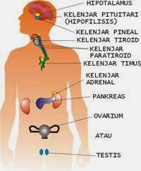 Hormon Manusia : hormon, manusia, Sistem, Hormon, Revaniaharlie30's