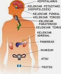 Kelenjar Hormon : kelenjar, hormon, Kelenjar, Endokrin, Biologikelasxi