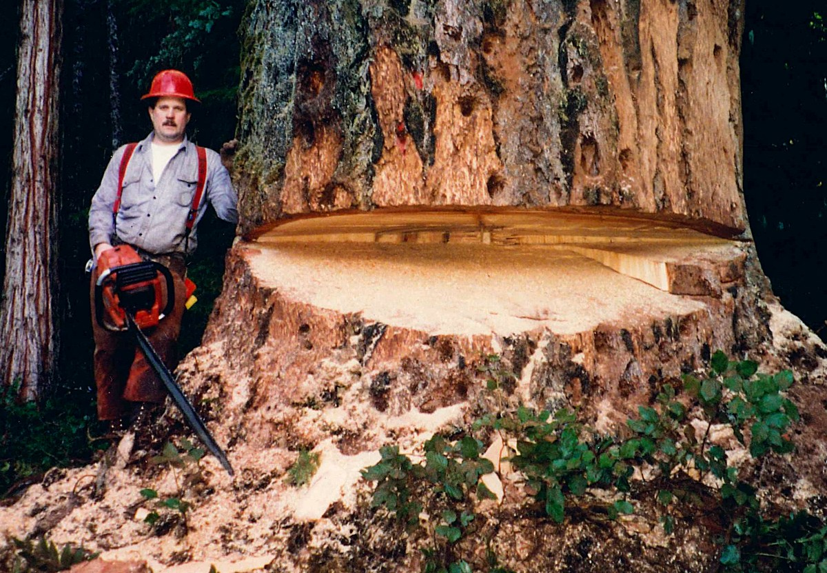 Logger Stephan Weaver stands with his chainsaw next to a slash in a giant tree.