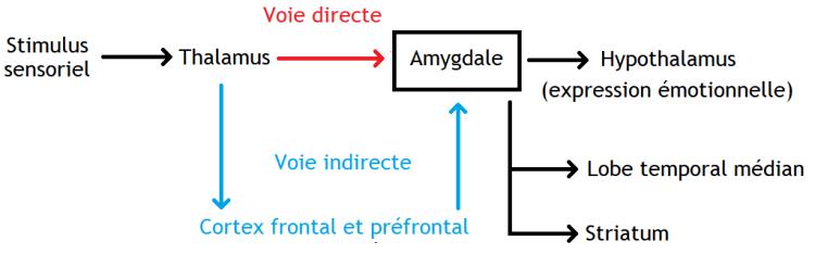 l'amygdale et les voies neuronales
