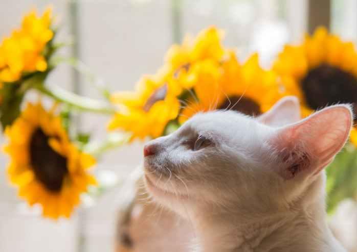 white cat and yellow sunflower
