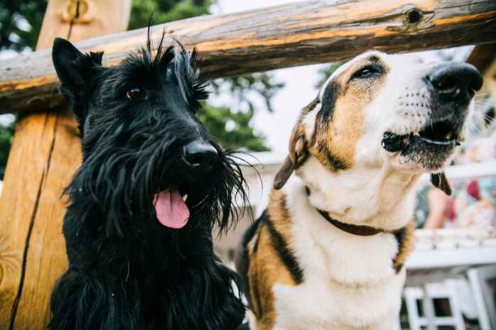 closeup photo of scottish terrier and adult short coated white and tan dog